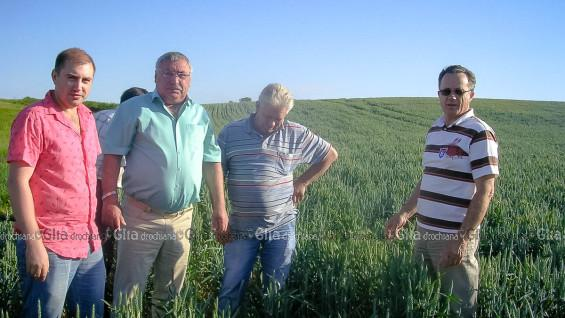 Урожай пшеницы в Марамоновке обещает быть хорошим