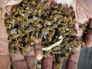 Мертвые пчелы / Фото Reuters © 2014, Danish Ismail