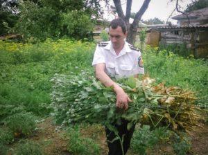 Plante de mac ridicate din gospodării