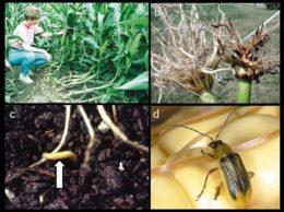 Etapele de dezvoltare a viermelui vestic al rădăcinilor de porumb - a) simptome pe tulpini Git de Lebădă, b) simptome pe rădăcini, c) adult, d) larva