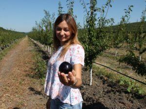 Primele prune culese de familia Chișcă