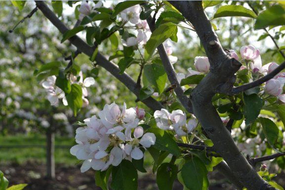 Merii de la Zgurița sunt în plină floare